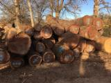 Softwood Logs Suppliers and Buyers - Radiata Pine Logs 18-35 cm