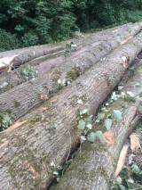 Hardwood Logs Suppliers and Buyers - Poplar Peeling Logs 25 + cm