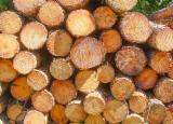 Wälder und Rundholz - Schnittholzstämme, Kiefer  - Föhre, Seekiefer, Aleppo Kiefer