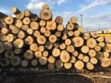 Latvia Hardwood Logs - Birch Veneer Logs 12+ cm