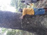 森林及原木 大洋洲 - 工业用木, Saman