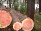 Softwood Logs Suppliers and Buyers - CD Douglas Fir Logs 55+ cm