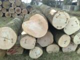 Forest And Logs Vietnam - Need White Ash Logs 70+ cm