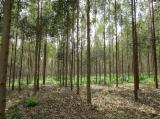 Cylindrical Trimmed Round Wood - Treated Eucalyptus fence posts from FSC-certified plantations