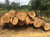 Find best timber supplies on Fordaq - Camphor Logs 25-150 cm