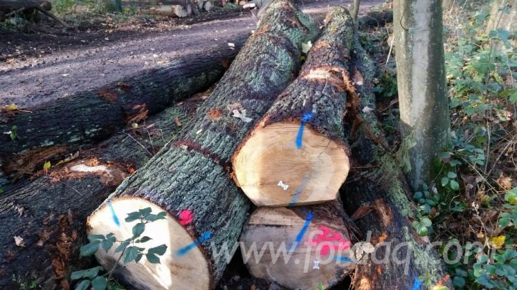 30--cm-Oak-Saw-Logs-from