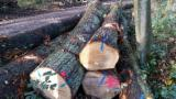 Find best timber supplies on Fordaq - Bois Commercial Wood - Oak Saw Logs 30+ cm