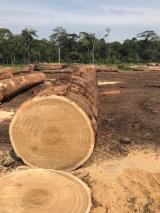 Wood products supply - Dibetou Logs, 70-80 cm Diameter