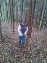 Wälder Und Rundholz Afrika - Schnittholzstämme, Eukalyptus
