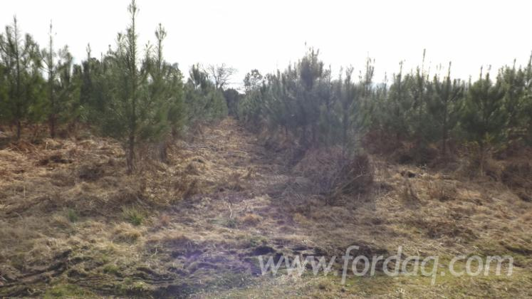 Maritime-Pine--Woodland-from-France-18