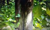 Stehendes Holz - Teak Stehendes Holz Costa Rica zu Verkaufen