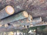 Hardwood Logs importers and buyers - Red Oak Logs 2SC+
