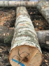 供应 拉托维亚 - 单板级原木, 桦木