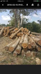 Forest And Logs South America - Teak Saw Logs 50+ cm