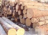 Russia Standing Timber - Cedar Standing Timber