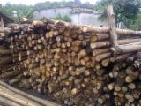 Schnittholzstämme, Kautschukbaum, ISPM 15