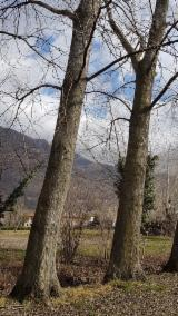 Laubrundholz  - Furnierholz, Messerfurnierstämme, Espe, Aspe
