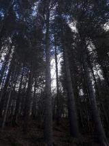Western Red Cedar Softwood Logs - Red Cedar Logs 15 - 55 cm