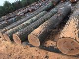 Find best timber supplies on Fordaq - Kingway GmbH - Red Oak Logs 2SC +