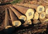 South America Hardwood Logs - Eucalyptus Regnans Logs 26 cm