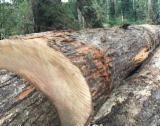 Schnittholzstämme, Coigue