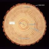 Softwood  Logs For Sale - Siberian Pine Logs 15 cm