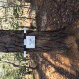 Schnittholzstämme, Southern Yellow Pine