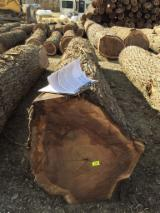 Find best timber supplies on Fordaq - Kaster Logging Limited - Black Walnut Logs 25 cm
