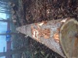 比利时 - Fordaq 在线 市場 - 锯材级原木, 白杨