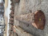 Tvrdo Drvo  Trupci Za Prodaju - Za Rezanje (Furnira), Crni Orah