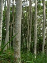 Wälder Und Rundholz Ozeanien  - Schnittholzstämme, Balsa