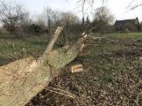 Poplar, Serotina Hardwood Logs - Poplar, Serotina Veneer Logs 1 m
