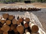 Southern Yellow Pine Softwood Logs - Southern Yellow Pine Logs 8
