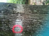 锯木, 橡木