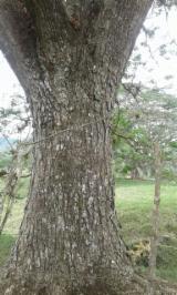 Spain - Furniture Online market - 80+ cm Saman Saw Logs from Ecuador