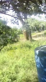 Lasy Wymagania - Wenezuela, Butternut