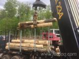 Hardwood Logs  - Fordaq Online market - Hard Maple Saw Logs 12 in