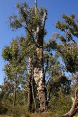 Wälder Und Rundholz Ozeanien  - Schnittholzstämme, Jarrah