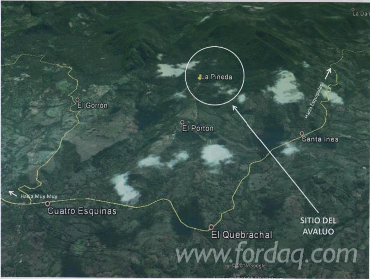 Balsamo-Woodland-from-Nicaragua-891-94