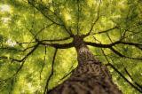 null - 整边材, 白橡木(智利橡木,智力榉木), 橡木(智利橡木,南美橡木)
