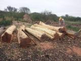 Forest And Logs South America - Curupay / Guayacan / Queracho Colorado Peeling Logs 30 cm