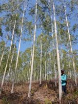 待售的成熟材 - 上Fordaq采购及销售活立木 - 哥伦比亚, 桉树