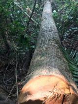 Bosques Y Troncos Africa - Venta Trozos Descortezados Abura  Congo