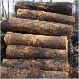 Wälder Und Rundholz Ozeanien  - Stämme Für Die Industrie, Faserholz, Neuguinea-Araukarie