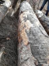 Drewno Liściaste Kłody Na Sprzedaż - Kłody Skrawane Obwodowo, Klon Tygrysi