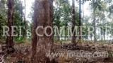 Orman Ve Tomruklar Güney Amerika - Brezilya, Tik Ağacı