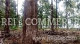 No Certificate At Present Time Certified Standing Timber - Teak Standing Timber