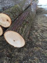 Basswood  Hardwood Logs - Basswood logs A/B, 2.5+ m
