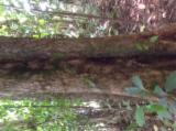 Indonesia Hardwood Logs - Gold Teak Saw Logs