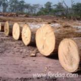 Korea, South Hardwood Logs - Buying Iroko Logs, A/B, 80+ cm diameter